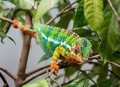 Chameleon #4 (billd_48) Tags: ohio summer animals garden chameleon
