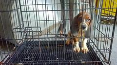 sammy the basset hound (venanciodfloresjr) Tags: hound basset sammy
