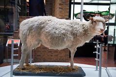 Dolly the Sheep (alyellax) Tags: city edinburgh museum nationalmuseum photography scotland animal amazing advancement breakthrough clone cloning dolly dollythesheep dollyparton ewe history mammal mothernature nature sheep science taxidermy
