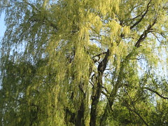 Willow in Mid Spring, 2013 (dennmahoney) Tags: willowtree
