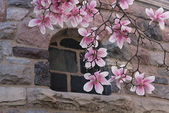 Magnolias Before the Arch Window (marylea) Tags: pink flowers catholic michigan blossoms may annarbor magnolia catholicchurch blooms 2013 stthomasaa stthomastheapostlecatholicchurch