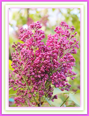 Purple Lilac Blossoms (bigbrowneyez) Tags: flowers tree nature beautiful leaves spring dof purple blossom sweet bokeh gorgeous rich blossoms fresh lilac frame buds colourful blooms fiori delicate mygarden belli scented bellissimi perfumed rememberthatmomentlevel1 purplelilacblossoms