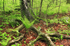 Exposed (Nicholas_T) Tags: trees plants nature forest moss spring hiking pennsylvania roots creativecommons vegetation trunk poconos birch ferns deciduous pikecounty undergrowth understory delawarestateforest yellowbirch betulaalleghaniensis thunderswamptrail