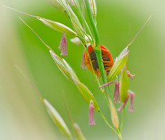 Grass and lady Bug's. (Omygodtom) Tags: macro green grass bug insect spring bokeh ladybug existinglight tamron90mm d7000 elitebugs