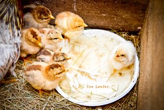 THe LeaDeR (Tom Hagen) Tags: naturaleza nature tom rural photography farm country natura chick leader chicks theleader hagen bizkaia basque leadership liderazgo lider euskal herria polluelos tomhagen tomhagenphotos txitak