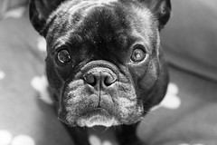 Mug Shot (Lainey1) Tags: bw dog oz sony bulldog frenchie frenchbulldog ozzy frogdog lainey1 sonynex5 elainedudzinski