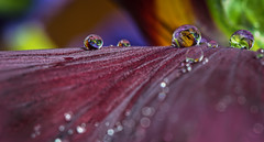 After the rain (Tore Thiis Fjeld) Tags: light sun macro reflection nature colors norway nikon focus dof bokeh drop saturation droplet d800