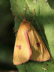 Clouded Buff (Wild Chroma) Tags: sweden moth insects sannio diacrisia diacrisiasannio