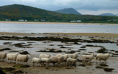 Sheep and seaweed, Donegal (ronmcbride66) Tags: seaweed beach sheep donegal supershot dragondaggerphoto lmbs sunrays5