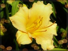 funinsun lily (MissyPenny) Tags: daylily yellow summer garden flower bristolpennsylvania kodakz990 sunnyyellow smileonsaturday