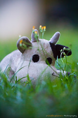 Cow in the grass (@Hastur79) Tags: grass cow mucca prato