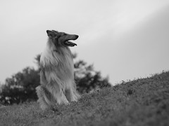 Luj (Bran_1) Tags: portrait dog pet pets nature animal animals collie bokeh sable olympus rod e3 rough lassie 135mm branko tair11a
