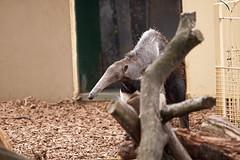 Giant Anteater (warren hanratty) Tags: nature wildlife longleat safaripark giantanteater warrenhanrattyphotography