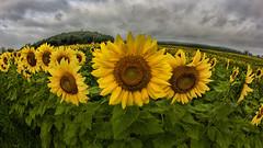 Forecast Calls For Mostly Sunflowery (gimmeocean) Tags: canon newjersey nj fisheye sunflowers augusta 8mm hdr sussexcounty 8mmfisheye handheldhdr greenscene hdrfromasingleraw t2i sunflowermaze bower8mmfisheye canoneosrebelt21 sussexcountysunflowermaze cityboyheadstothecountry