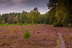 Sdheide Oberohe (JohKl) Tags: life trees abstract tree rot nature leaves forest woodland geotagged see sonnenuntergang floor branches natur violet trail grn bume baum beech heide farben blten naturpark incamera lneburger glockenheide sdheide oberohe niederohe