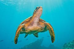 turtle2July21-13 (divindk) Tags: ocean sea color cute coral hawaii underwater turtle diving maui honu reef seaturtle graceful lahaina cheloniamydas clearwater greenseaturtle endangeredspecies underwaterphotography blueocean hawaiianislands malaramp