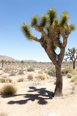 Joshua Trees and Rocks (g3sus) Tags: california vacation usa joshuatree