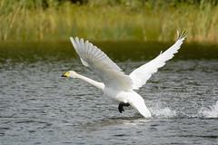 Swan  (Cygnus cygnus) taking off ´cause that dastardly ´tographer is getting closer... (apaaso) Tags: bird swan nikon sigma takeoff cygnus d7100 150500