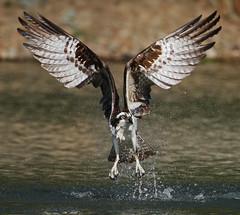 Osprey (ken.helal) Tags: osprey