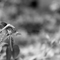 Spiderman was Here (@noutyboy (Instagram)) Tags: bw holland nature netherlands monochrome canon spider utrecht dof zwartwit bokeh web spiderman nederland natuur f28 nieuwegein 550 1755mm nout 550d eos550d noutyboy