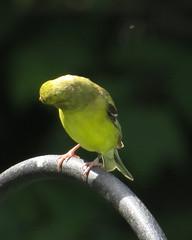 "IMG_3452 (Claire DeLand ~ ""GA Music Maker"") Tags: birds june cardinal finch chickadee 24th songbirds favorited backyardbirds 2013 corneliaga"