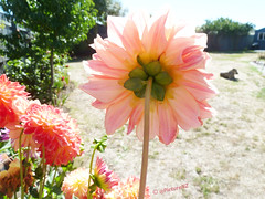 We are Watching You (Steve Taylor (Photography)) Tags: pink dahlia summer dog sun sunlight plant flower green grass bush flora shed dry