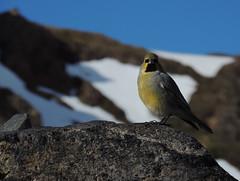 Melanodera xanthogramma (Mono Andes) Tags: chile bird ave andes aguascalientes pjaro yal emberizidae pajarraco chilecentral yalcordillerano melanoderaxanthogramma vision:mountain=076 yalandino
