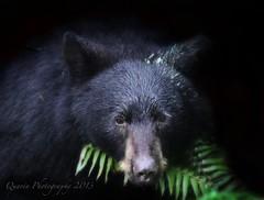 Black Bear & Fern re edit ('Dazza' Quarin...back from the Dead) Tags: bear canada fern britishcolumbia blackbear