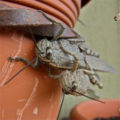 sunday morning, praise the dawning (stefelix) Tags: mating grasshopper stefelix