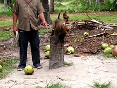 Coconut Monkey - Koh Samui, Thailand (The Web Ninja) Tags: travel vacation travelling nature animal canon thailand island photography monkey photo asia tour coconut adventure explore ko thai samui tropical koh kosamui southasia explored t2i