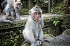 Monkeying Around Balinese Style. (vonRetreat) Tags: travel bali nature forest temple photography monkey ubud