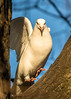 Levitating dove (pstani) Tags: bird pigeon dove whitedove peterstaniforth pstani