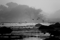 Inspired from Nat Geo (Sam Gupta Photography) Tags: blackandwhite india green bird nature monochrome birds forest canon village natural wildlife inspired national greenery migratory sanctuary geographic haryana sultanpur basai canonindia canonefs18200mmis samguptaphotography