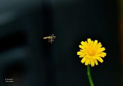 DSC_0011 (RUMTIME) Tags: flower nature bug bugs queensland hoverfly coochie coochiemudlo abigfave nikonflickraward
