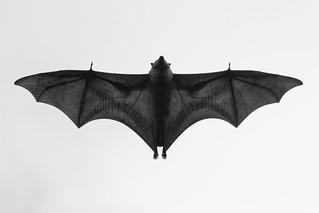 Bat in flight.