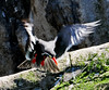 Inca Tern Take-off