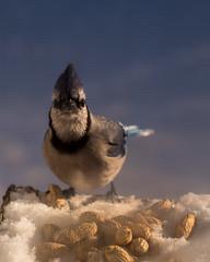 Blue Jay Looking In (george.m.hernandez) Tags: winter bird pentax peanuts bluejay centralnewyork 50f14 camillus