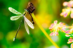 朽木の霜降りトンボ No.2 (Onejoshuatree) Tags: mountain macro fall japan insect landscape kyoto dragonfly d90 recesses