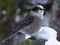 Gray Jay in winter (annkelliott) Tags: winter snow canada bird nature birds interestingness jay seasons bokeh explor