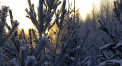 glow (Sergey S Ponomarev) Tags: city winter light sunset sky sun sunlight snow nature sunshine forest canon woods branch glow russia bokeh outdoor branches ngc fir inverno firtree 600d vyatka sergeyponomarev viatka vision:mountain=0563 vision:outdoor=084 vision:sky=0641