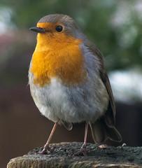 robin up close [explored] (carol_malky) Tags: orange brown white cute bird robin wooden gate close post explored greenbokeh abigfave