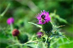 Buzzy (John H Bowman) Tags: virginia bedfordcounty virginiamountains parks nationalparks blueridgeparkway flowers thistles smallanimals bees august2012 august 2012 canon241054l