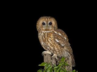 Tawny Owl (Strix aluco) Male (A WILD BIRD)