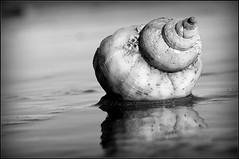 Whelk in B&W (catb -) Tags: ireland blackandwhite bw dublin macro beach monochrome shell tamron fa whelk
