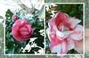 Camellia's '14 (gailpiland) Tags: pink flower macro camellia photoart soe tmi autofocus flickraward theperfectphotographer spiritofphotography gailpiland ringexcellence rememberthatmomentl1
