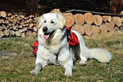 Mogli - proud owner of a new backpack (balu51) Tags: dog training switzerland hiking hund backpack rucksack märz kuvasz frühling swissalps wanderung 2014 graubünden dogtraining rheinschlucht shepherddog hirtenhund copyrightbybalu51