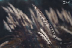 Mecidos por el Viento (G. Goitia) Tags: luz canon focus dof viento movimiento depthoffield desenfoque framing aire pdc foco exteriores profundidaddecampo encuadre enfoque plumeros luznatural canoneos5dmarkii ef70200mmf28lisiiusm