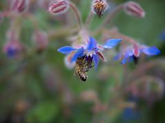 Triptyque en VO #3 (21gb) Tags: macro fleur bokeh bourracheofficinale lumix20mm bonnetteachromatique