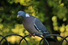 Wood Pigeon: Columba palumbus (Roving_photographer) Tags: london pigeon hydepark woodpigeon columbapalumbus palumbus colomba