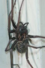 Tegenaria gigantea Kitchen visitor (Procrustes2007) Tags: uk england spider suffolk britain wildlife arachnid flash nikond50 sudbury housespider tegenariagigantea wildlifephotography tamron2xteleconverter nikkor50mmais vivitarextensionrings68mmtotal tegenariagigantead50
